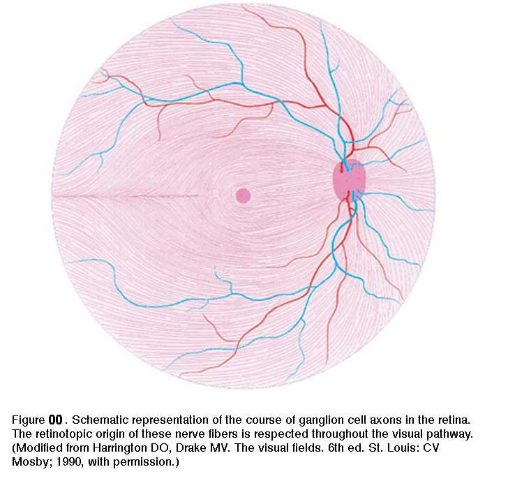 1.2 Simple Anatomy of the Retina. By Helga Kolb – Webvision
